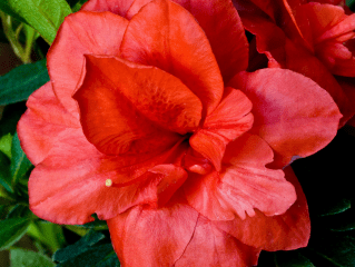 rebloom azaleas