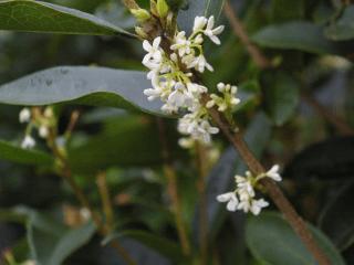 osmanthus tea olive