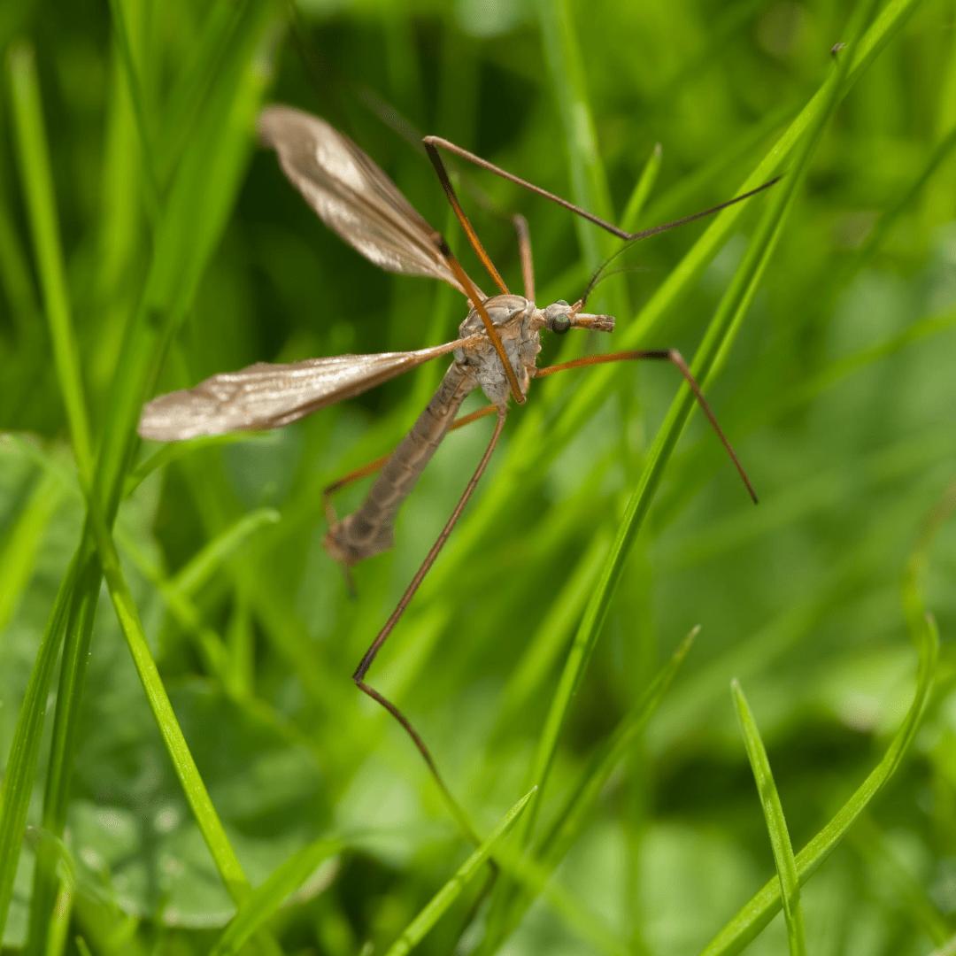 crane fly in grass