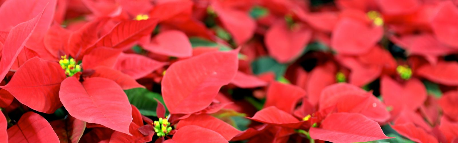 red poinsettia flowers with yellow centers with green leaves
