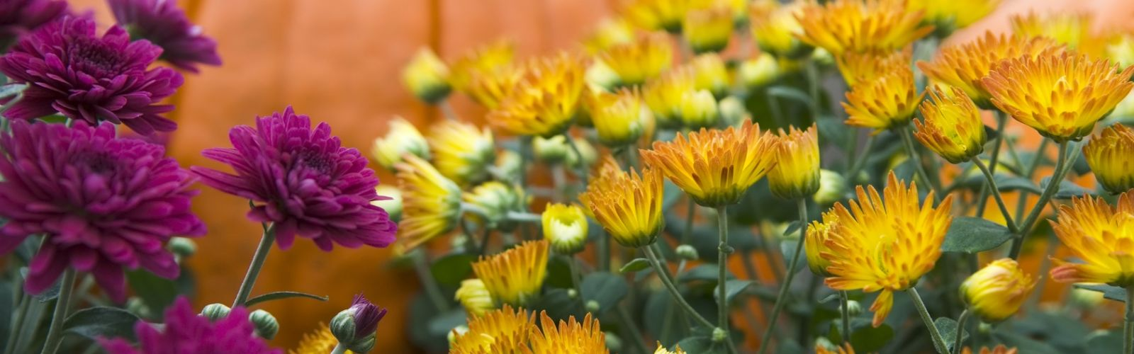 Blooming garden mums in gold and purple with orange pumpkin in background