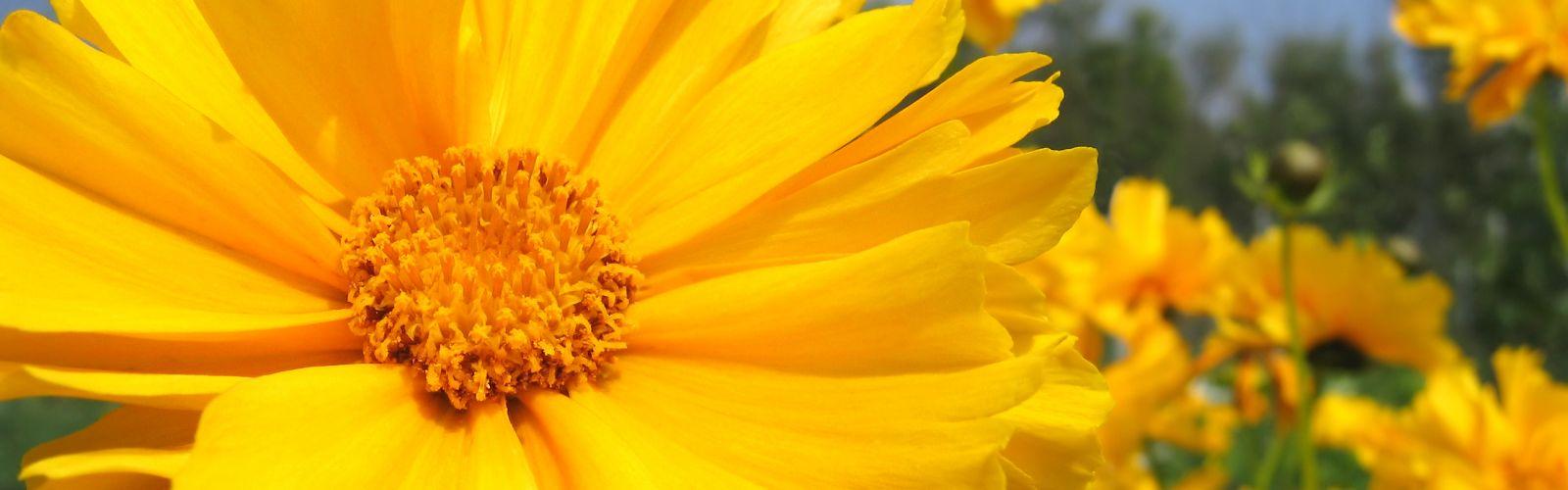 bright yellow coreopsis