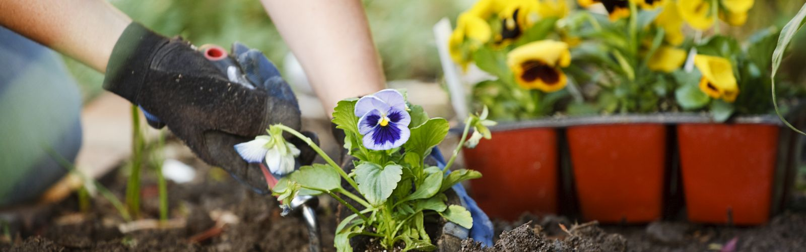 hands planting a viola flower in soil
