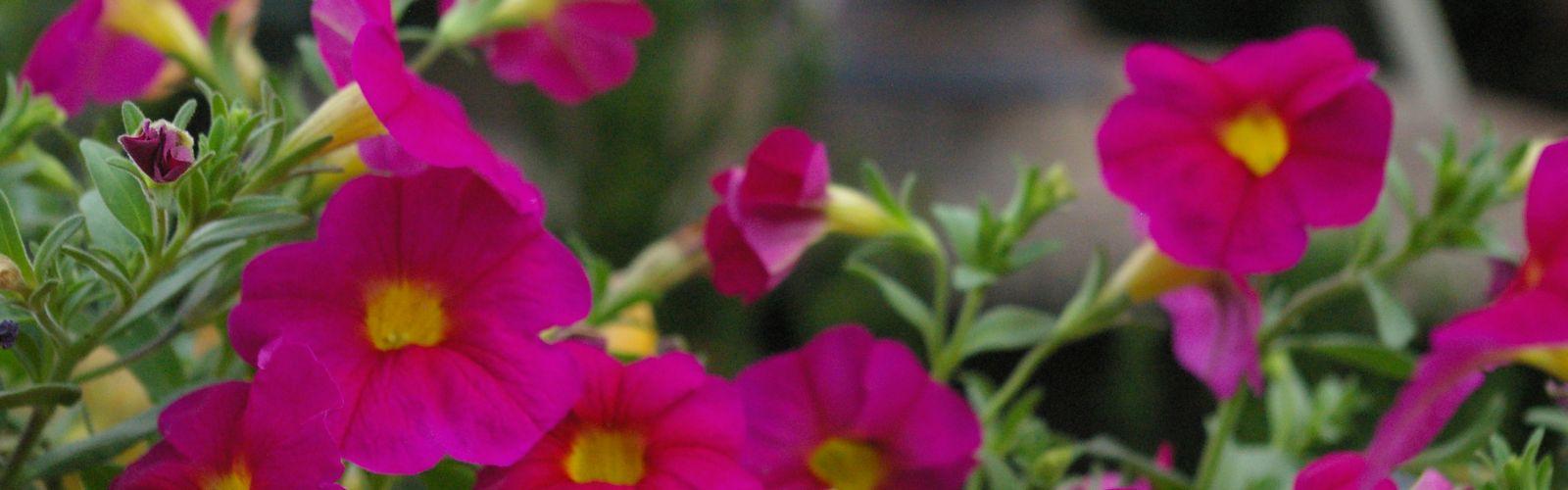 pink calibrachoa flowers