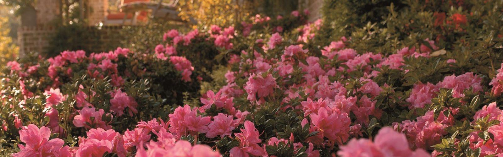 pink azaleas in landscape