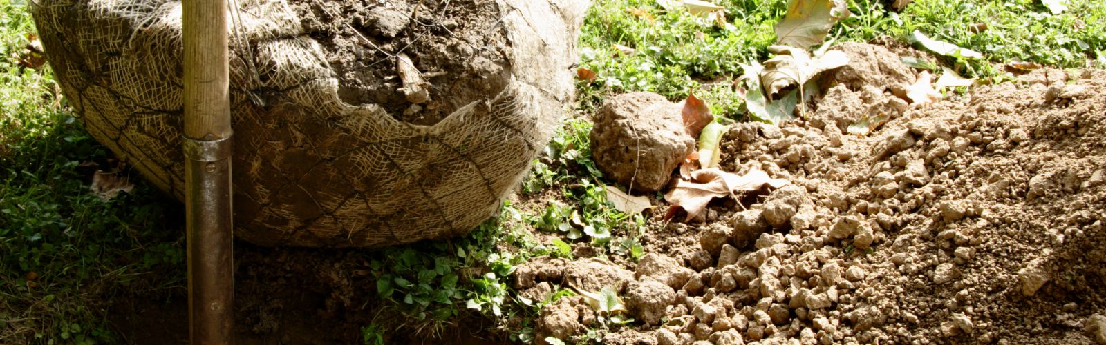 tree root ball next to hole in the ground