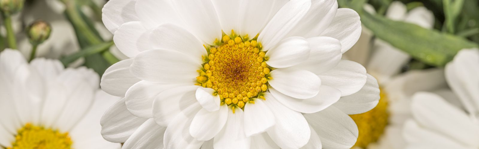 a close up of a Argyranthemum white flower