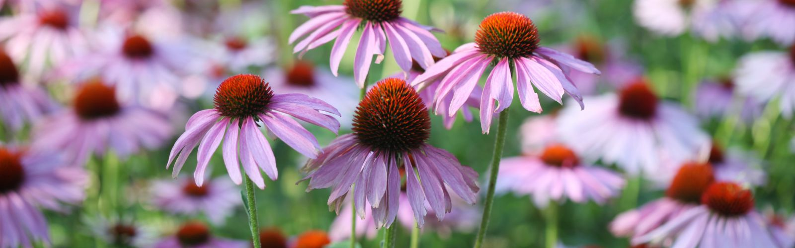 purple echinacea flowers blooming