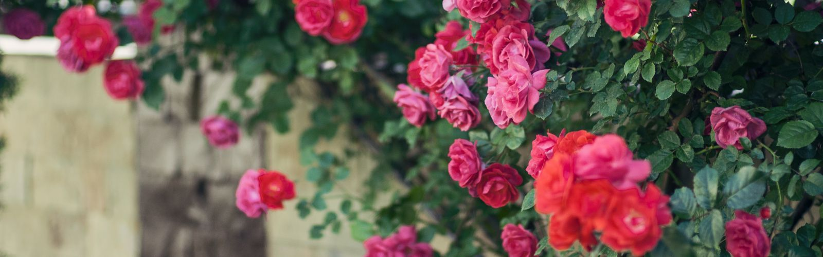 Red roses climbing on a fence