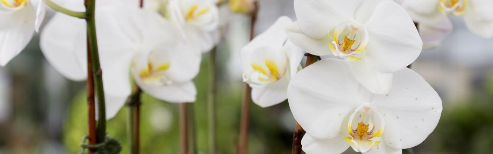 Blooming white phalaenopsis flower