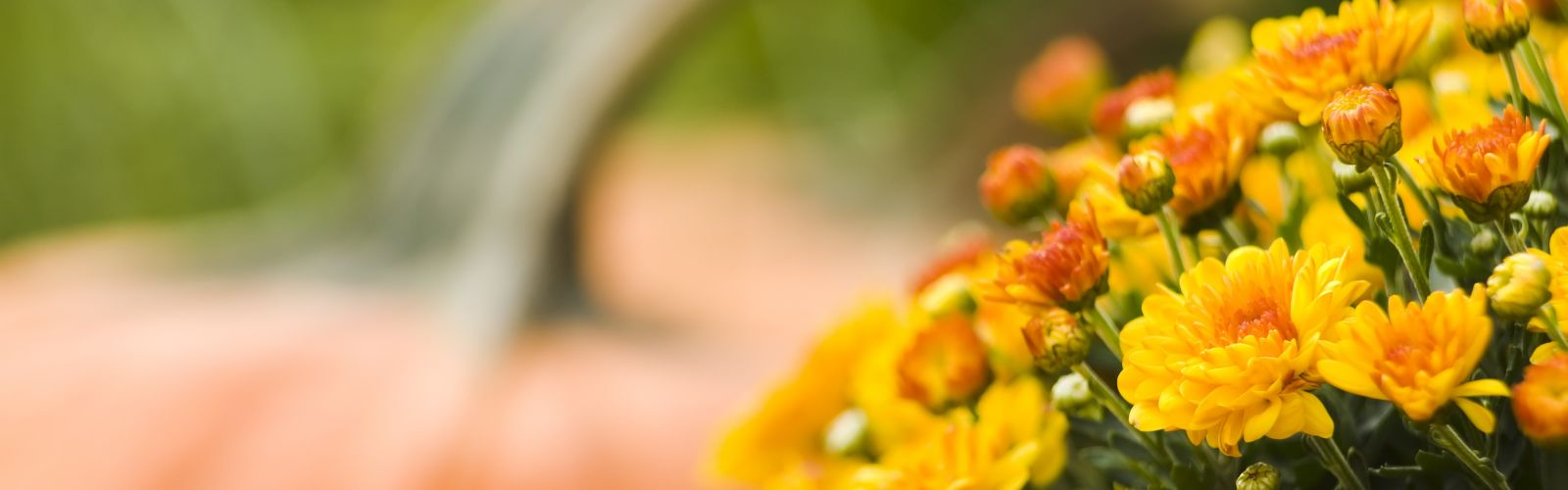 yellow blooming mum with orange pumpkin in background