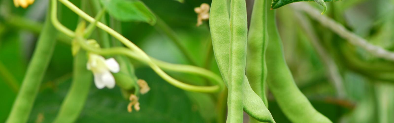 a green bean plant
