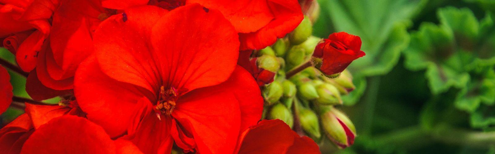 closeup of red geraniums
