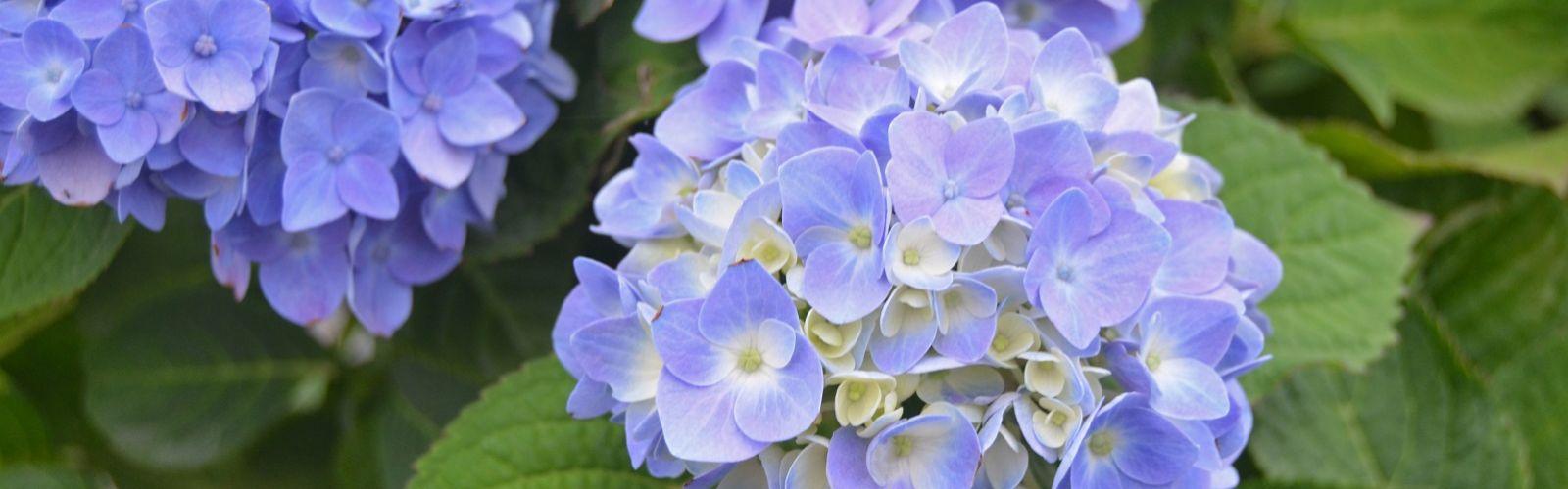 Blue hydrangea Nantucket blue