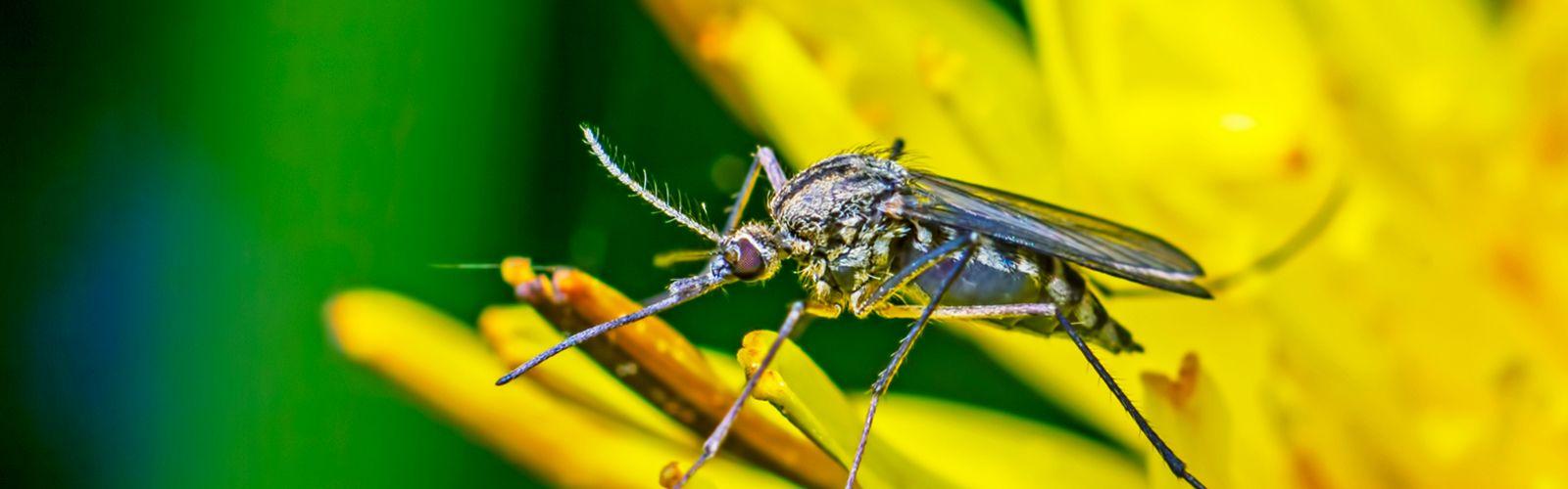 Mosquitos on plant