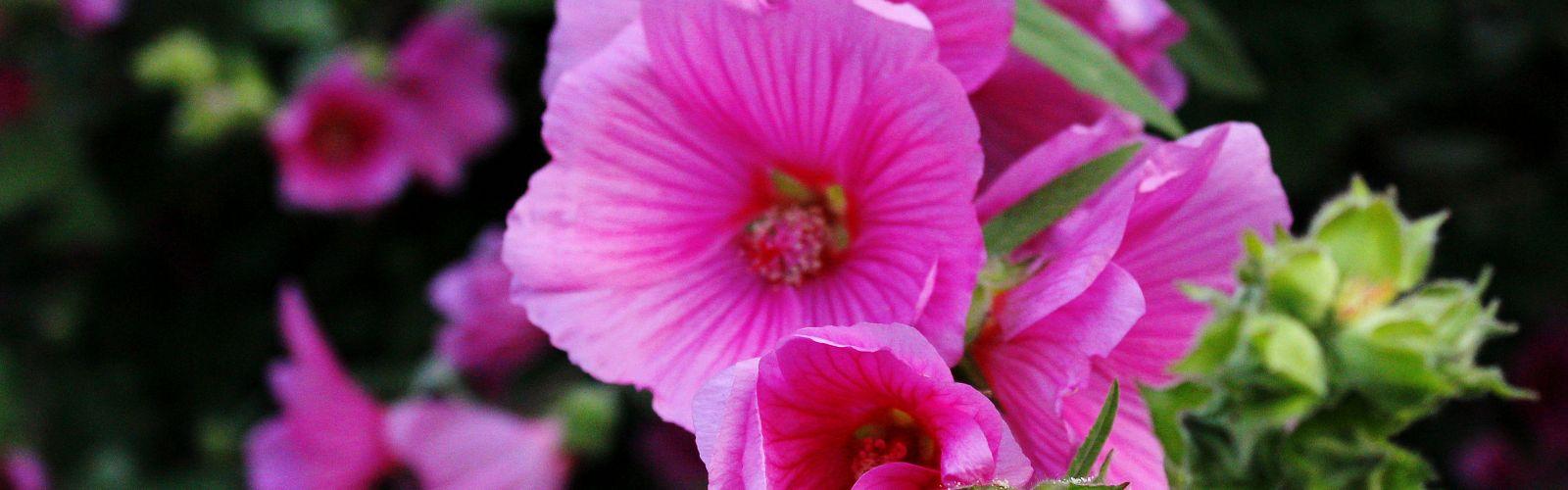 a close up of pink petunia