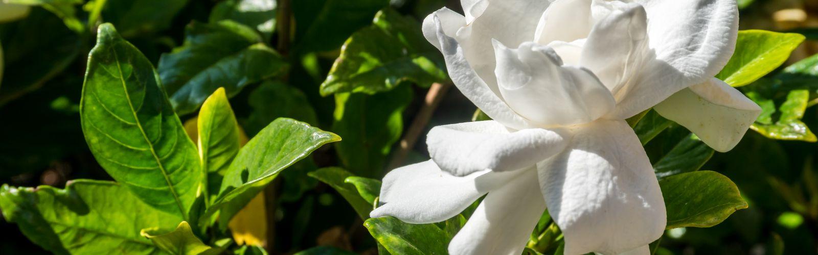 closeup of white gardenia flower on the shrub