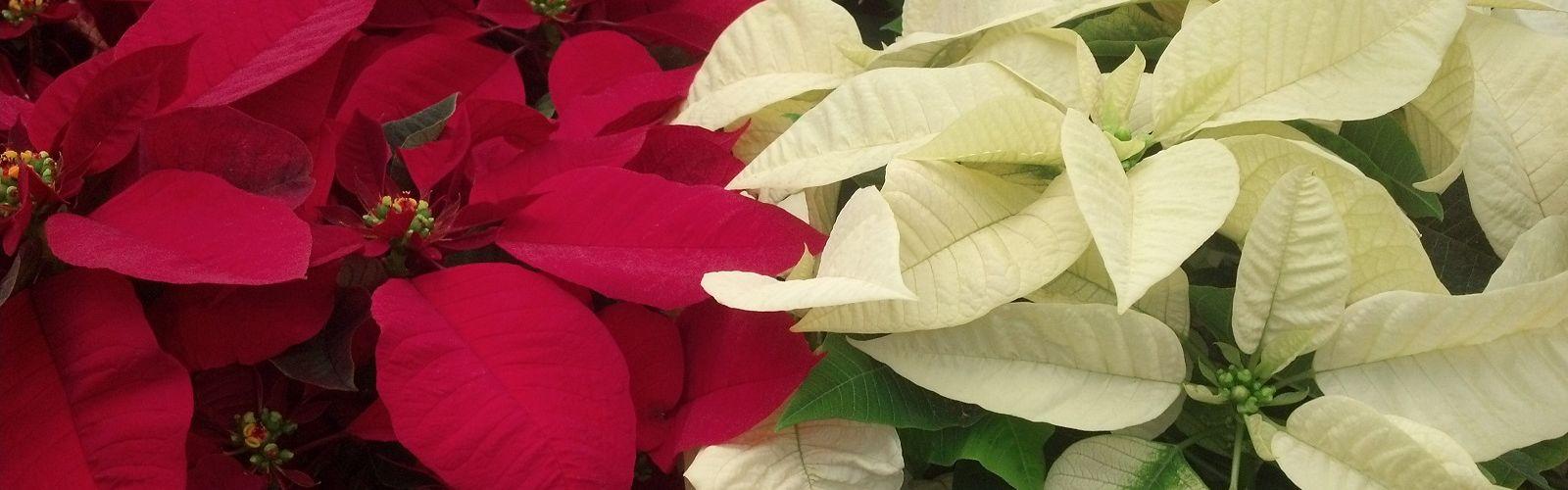 Pike red poinsettias and white poinsettias