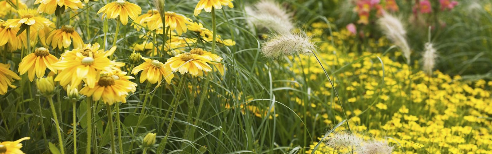 yellow perennial flowers growing in a garden