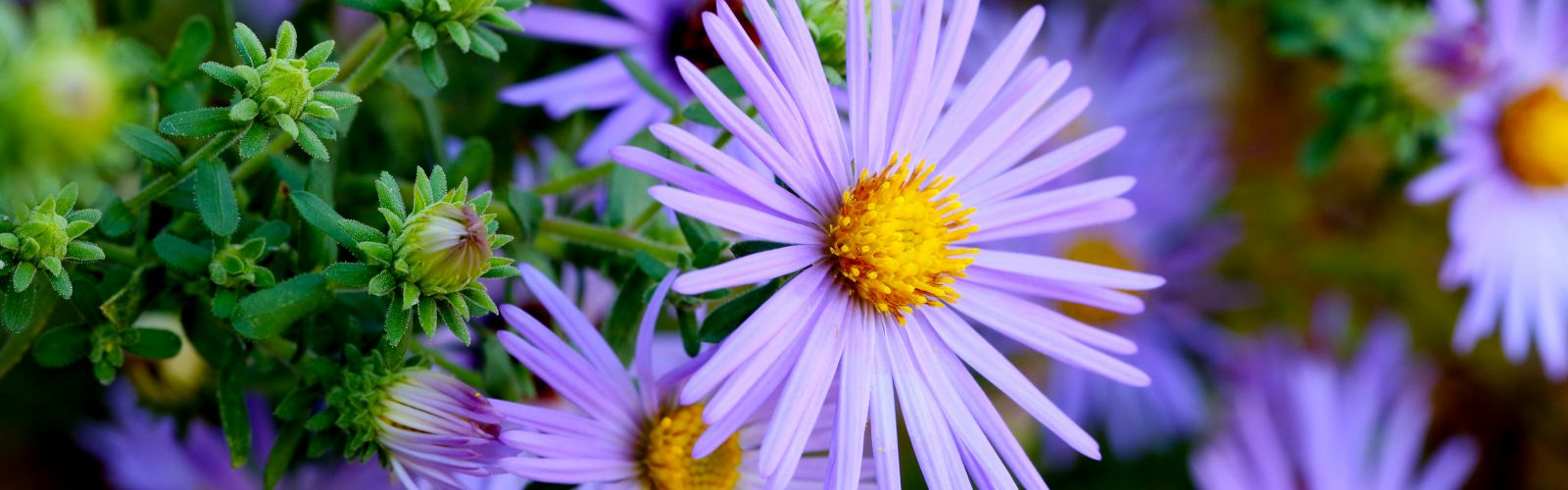 a close up of asters
