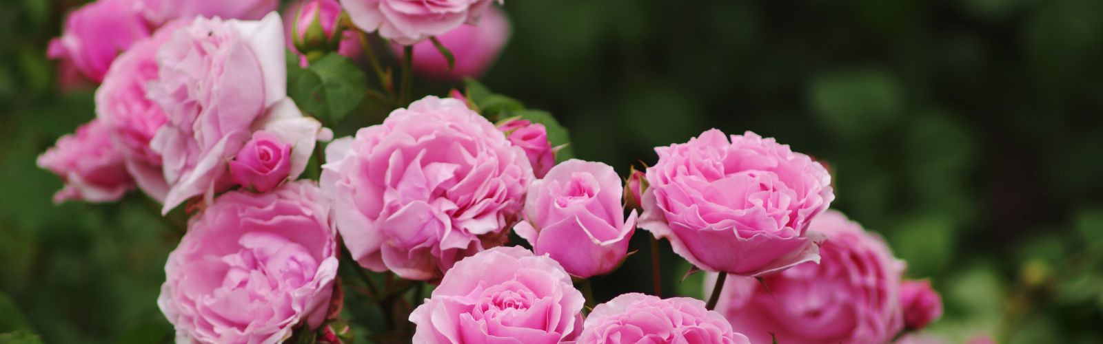 planting roses in the landscape