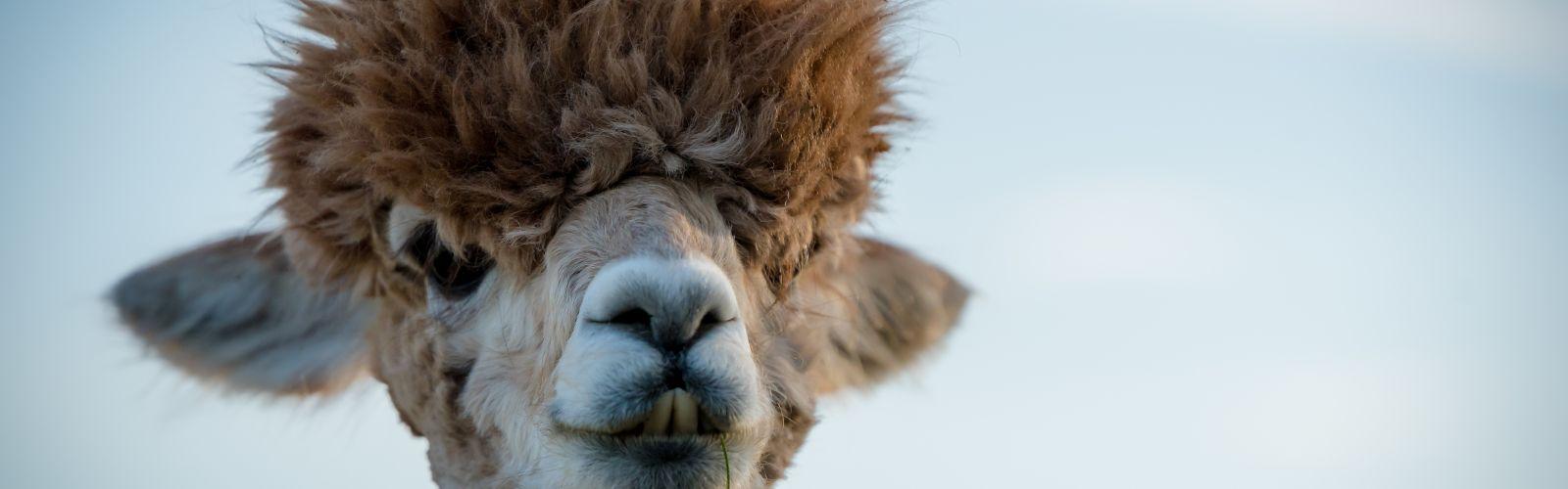 a close up of a llama looking at the camera