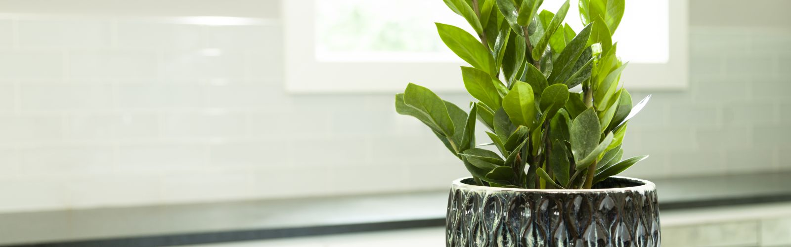 zz houseplant helps clean the air