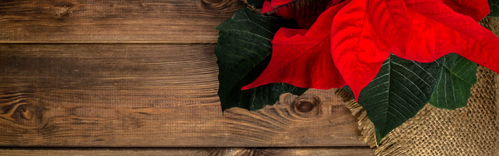 a red poinsettia on a wooden table
