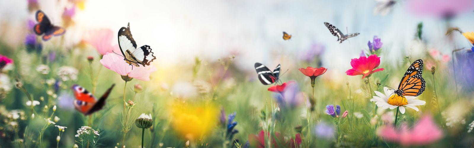 butterflies in a field of flowers