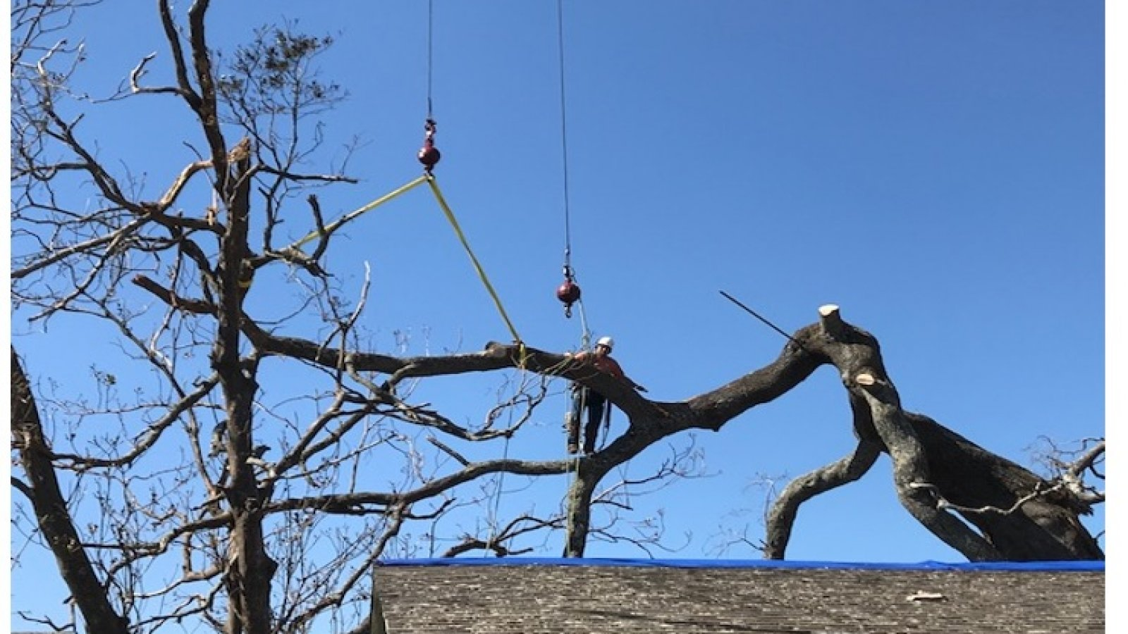 Removal of Hazardous Live Oak using Tandem Cranes