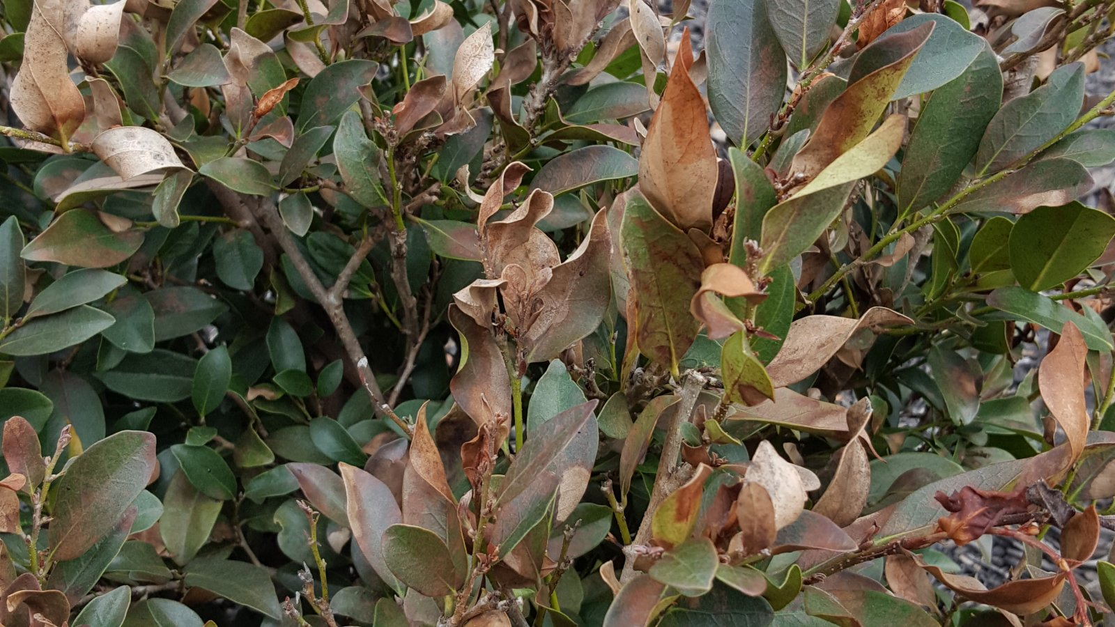 Cold Damage to Plants