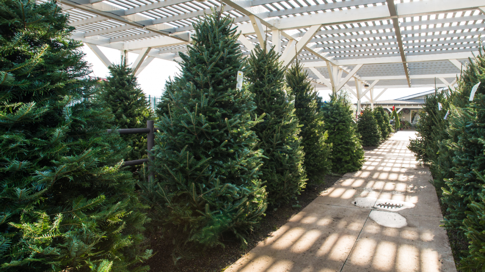 Christmas trees in the garden center