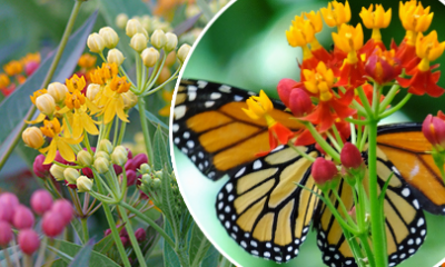 a close up of butterfly milkweed