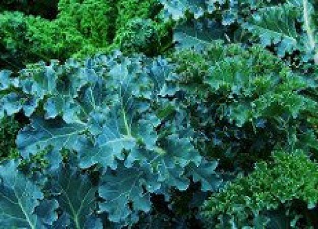 The many health benefits of kale