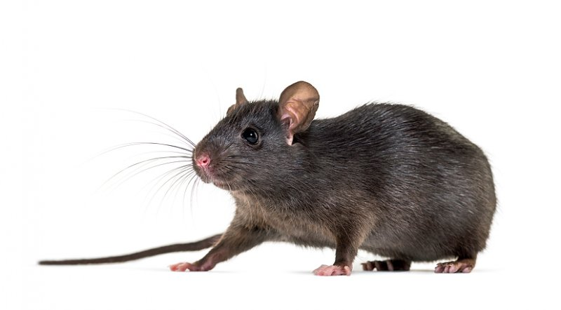 Roof Rats and How to Get Rid of These Pesky Pests image