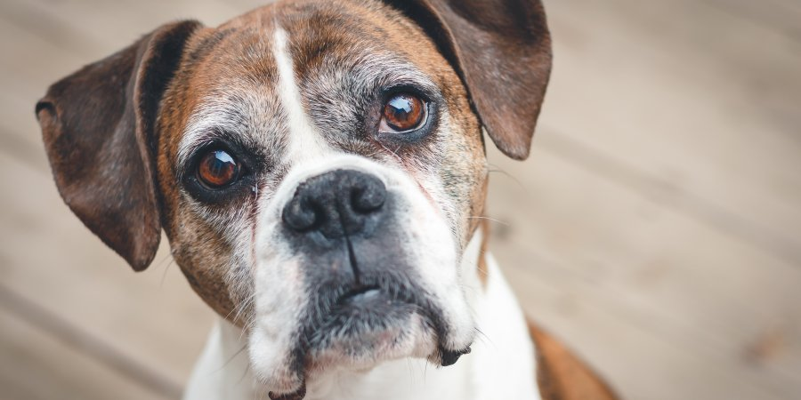 a brown and white dog looking at the camera