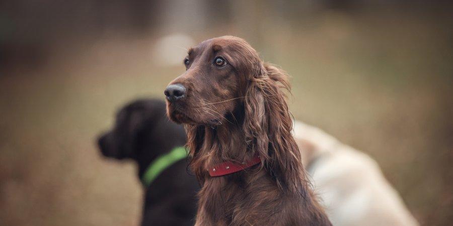Adult dog wellness plans