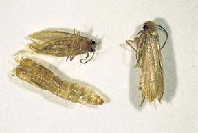 Pest Gallery Moths Breda Pest Management Breda Pest