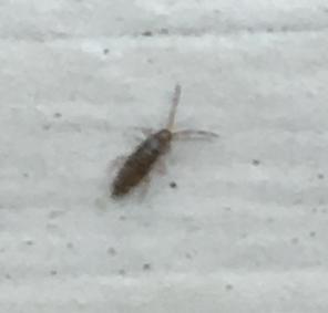 Springtail | Breda Pest Management
