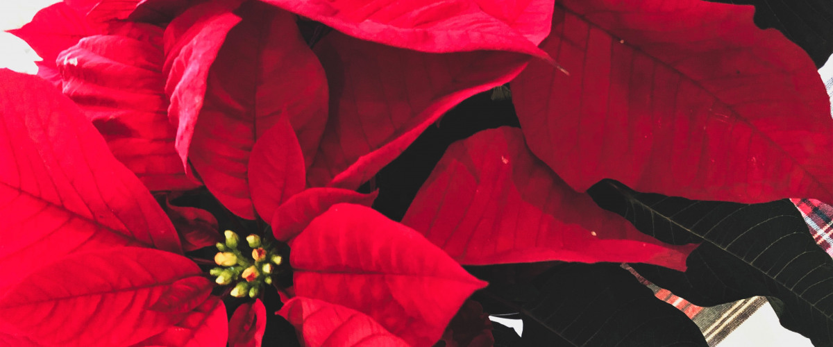 Christmas Past: The History of Poinsettias