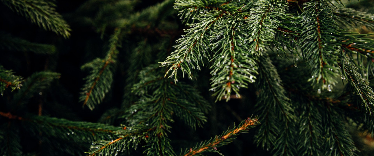 Christmas Trees for the Environment: New Orleans Recycling Trees to Restore Wetlands