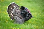 Turkey Tidbits: Fun Facts About the Thanksgiving Fowl