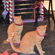 Santa Claws Has Come to Town with the Amazing Acro-Cats!