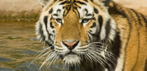 Could LSU?s Mike the Tiger get the Coronavirus?