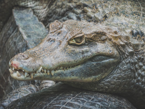 The American Alligator: How Do We Need It?