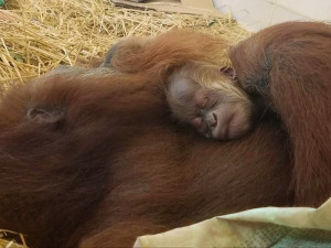 Excitement Abound at Audubon Following Birth of New Orangutan