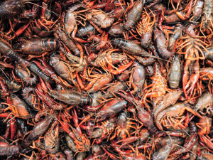 2021 Crawfish Season is Looking Promising