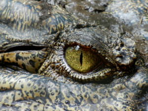 Alligator Carcasses Aid in Mapping Ocean Floors