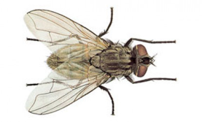 Flies: Muscidae