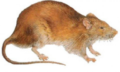 Rodents- Norway Rat